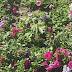 DE NO CREER: HABÍA UNA PLANTA DE MARIHUANA EN LA PLAZA CENTRAL, FRENTE AL JUZGADO FEDERAL Y LA MUNICIPALIDAD DE RAFAELA