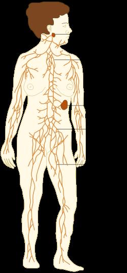 Sistem limfatik - Wikipedia bahasa Indonesia, ensiklopedia