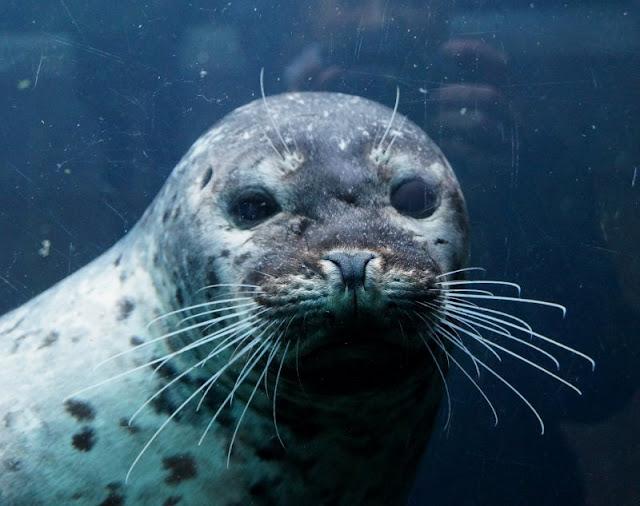 Das Nordsee-Ozeanarium in Hirtshals: Ein tolles Ausflugsziel für Familien in Nord-Jütland. Im Unterwassertunnel lassen sich die Robben und Seehunde gut betrachten.
