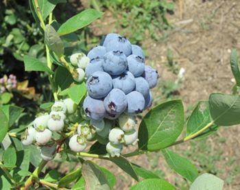 organic blueberry production & organic blueberry yield