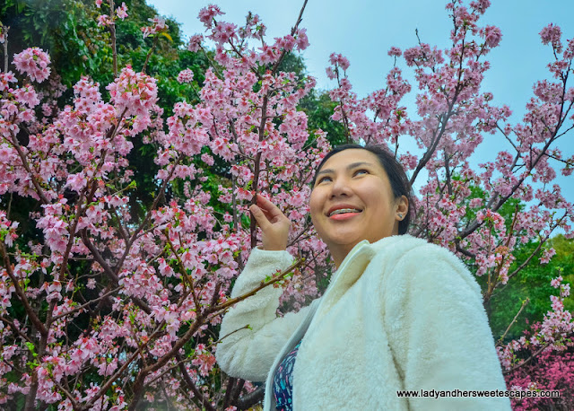 blush pink cherry blossoms in Taiwan