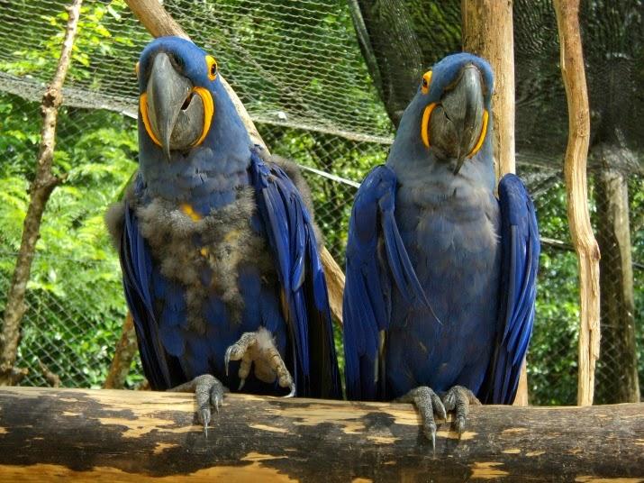 Casal de Araras Azuis, Zoo de Gramado