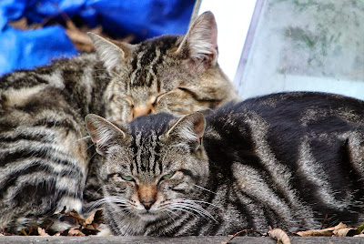 tabby cat friends