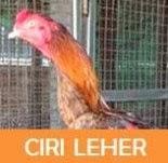 ayam bangkok dengan leher untuk aduan