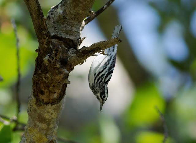 Black and White Warbler - Fort De Soto, Florida