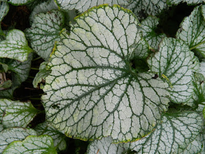 Brunnera macrophylla 'Jack Frost' at the Toronto Botanical Garden by garden muses-not another Toronto gardening blog