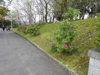 寝屋川公園のシャクナゲ