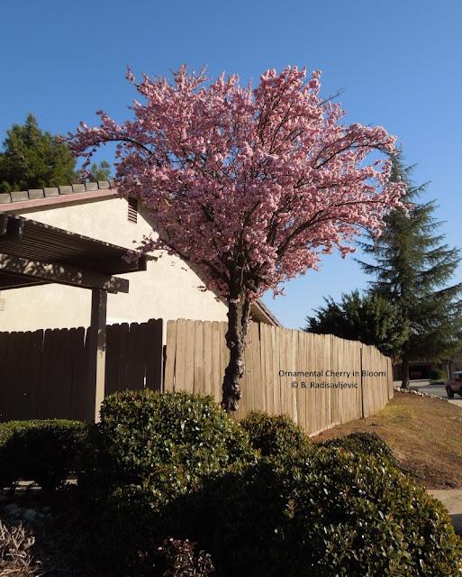 My Neighborhood Trees are in Bloom