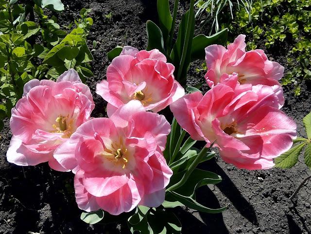 Что в сердце нераскрытого тюльпана? В чём чудо красоты его, в чём тайна? Так хочется поверить... посмотри - Прелестная Дюймовочка внутри...