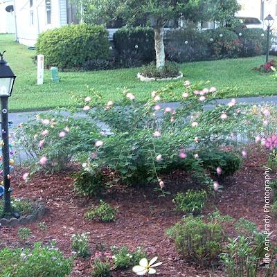 Pink Powder Puff - Calliandra surinamensis