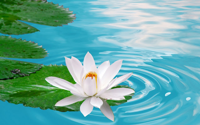 White Lotus Flower HD Pictures Wallpapers Download