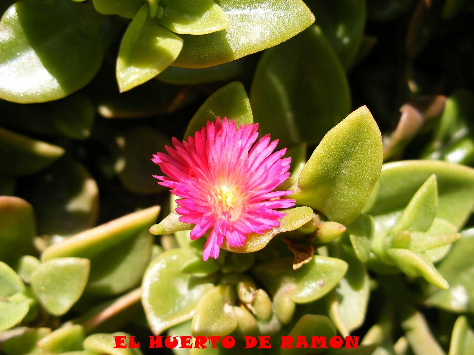 El huerto de ram n flores de plantas ornamentales iii for Plantas para veredas con flores