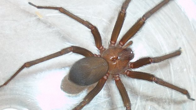 Facts And Fun: Brown recluse spider - photo#7