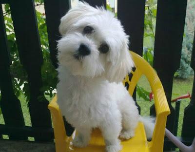 A pasi (és a fehér kutya)