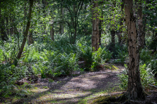 Sun dappled woodland path at Holme Fen Nature Reserve