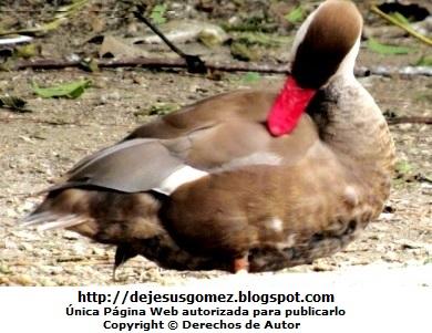 Foto de un pato con pico rojo en el Parque de Huachipa. Foto de pato de Jesus Gómez