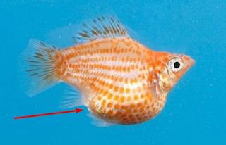 Ciri Ciri Ikan Guppy Hamil