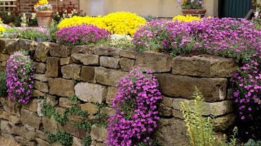 Aubrieta para jardín de rocas