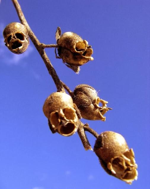 bunga penghambat kanker Snapdragon, Bunga Ini Akan Berubah Menyerupai Tengkorak Manusia Saat Layu