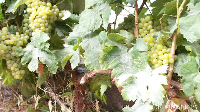 Viinirypäleitä Madeiralla - www.blancdeblancs.fi