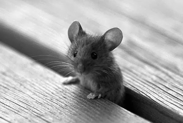 Funny animals of the week - 14 February 2014 (40 pics), little mouse in bench gap