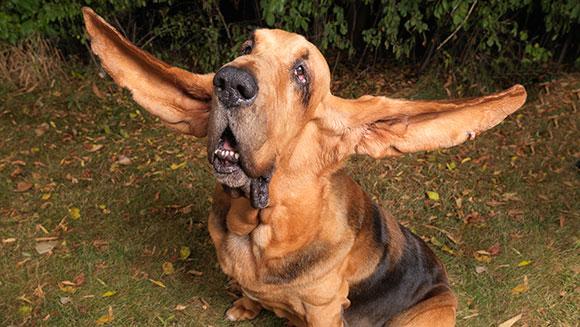 الكلب Tigger  صاحب أطول آذان يملكها كلب على وجه الارض