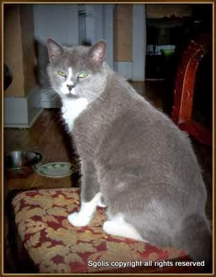 Russian Blue Mix Cat
