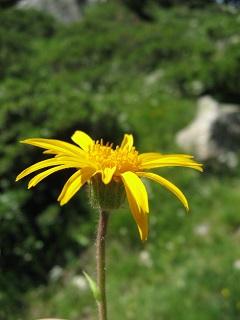 Medicina Natural con Arnica montana