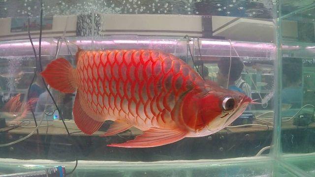 Jenis Ikan Arwana dari genus clup sudis