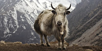 Yak dung contributes to the soot found to be polluting the Tibetan Plateau. (Image Credit: travelwayoflife / Wikimedia Commons) Click to Enlarge.