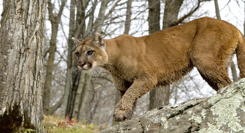 cougar-01