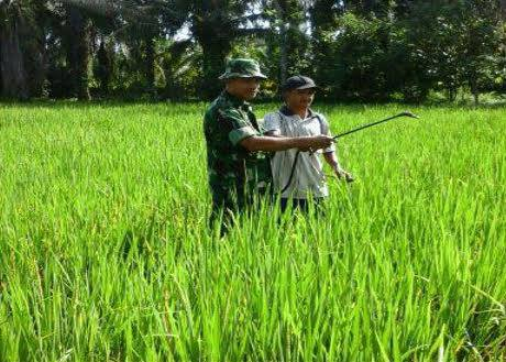 Babinsa Koramil 02/Selesai Dampingi Peyemprotan Hama Padi di Dusun IV