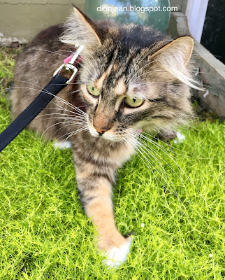 Izzy the cat walking on her leash