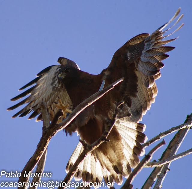 """alt=""""aguilucho comun,Geranoaetus plyosoma,aves de Mendoza,rapaz de Mendoza"""""""