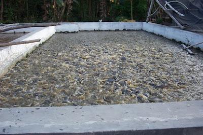 cara budidaya ikan lele,di kolam beton,di kolam tanah,ikan lele di kolam terpal pdf,lele sangkuriang di kolam terpal,gurame di kolam tembok,nila di kolam tembok,