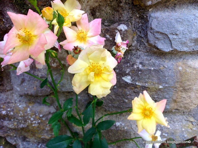 Rose, fioritura autunnale