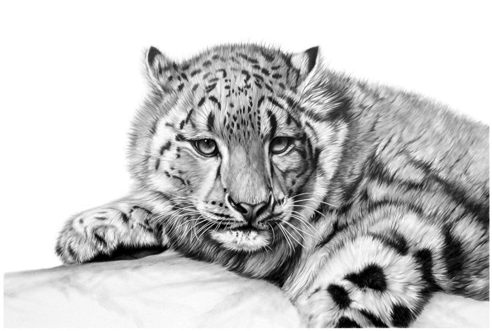 11-Snow-Leopard-Richard-Symonds-Wildlife-Fine-Art-Drawings-a-Painting-and-a-Video-www-designstack-co