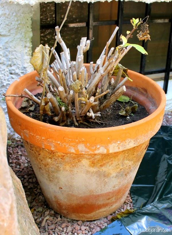 Como Cambiar De Maceta Una Hortensia Guia De Jardin - Hortensias-cuidados-maceta