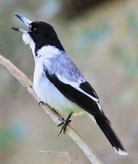 Jenis-jenjis Burung Jagal