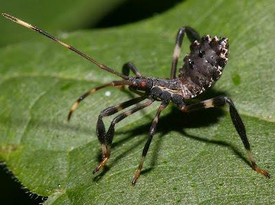 Kumbang Assasin