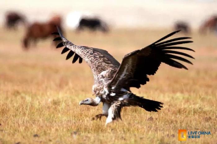 770+ Gambar Binatang Burung Bangkai HD Terbaik