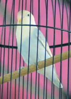 perawatan harian lovebird ngekek