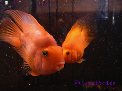 2 blood parrot cichlids