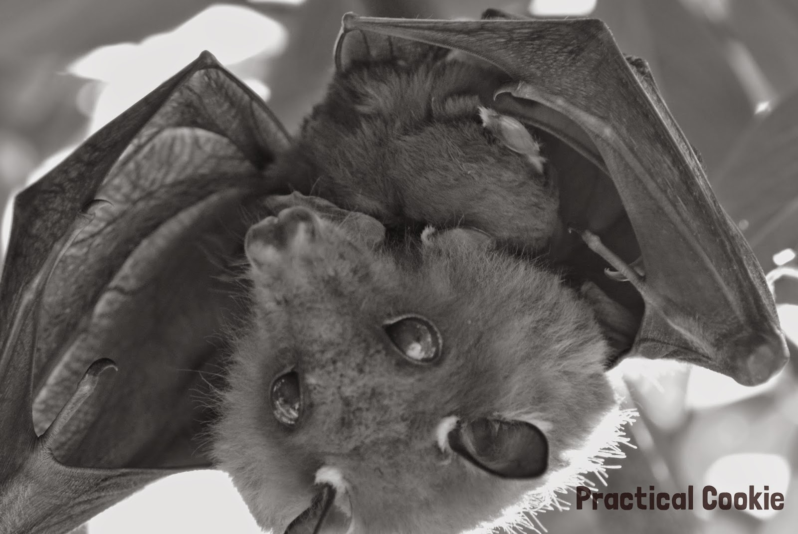 Bat and her baby in black and white