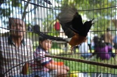 Penanganan Burung Murai Batu Over Birahi