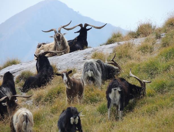 Monte Sumbra capre apuane