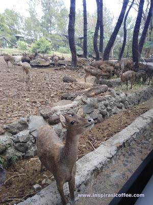 Rusa Taman Safari Prigen