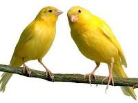 Cara Ternak Burung Kenari Dengan Mudah