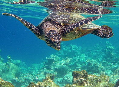 Tortue marine en mer des Bahamas