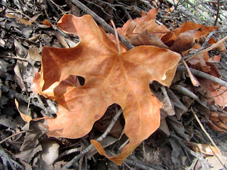 Big-leaf maple leaf along Fish Canyon Trail in autumn
